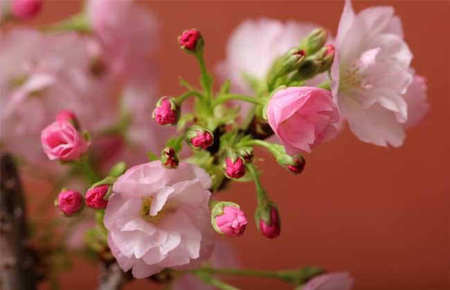 盆栽樱花怎么养