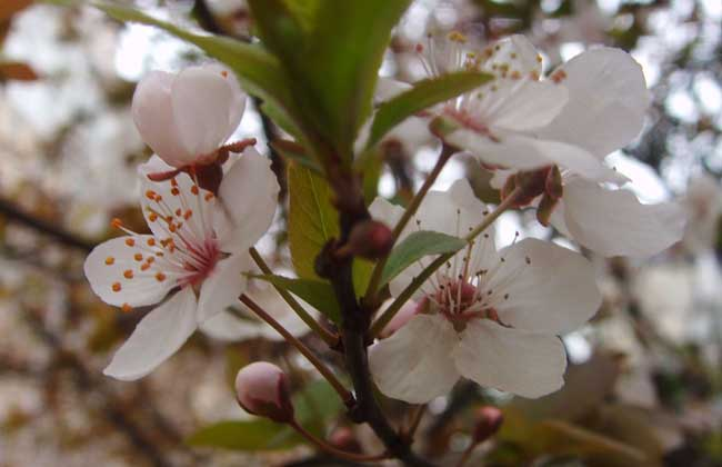 樱花树扦插技术