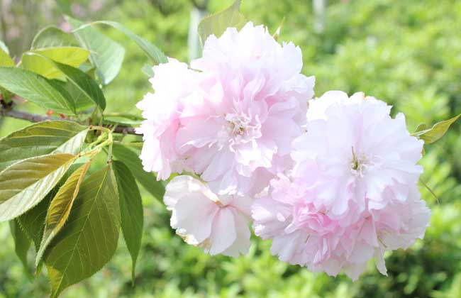 樱花的颜色有几种