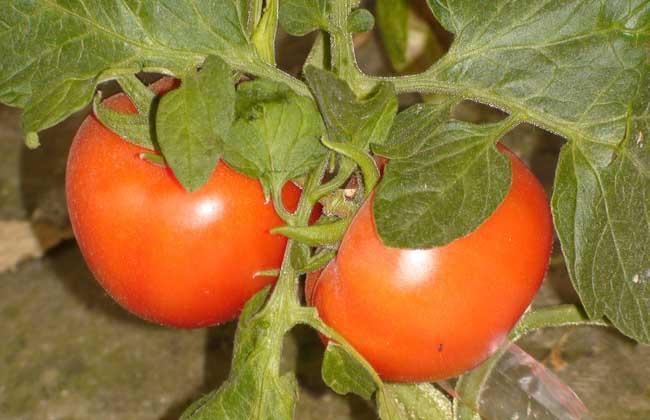西红柿品种图片大全