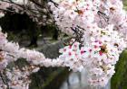 樱花的花语和传说