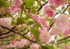 樱花树栽培几年开花?