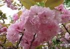 樱花树掉叶子怎么办?