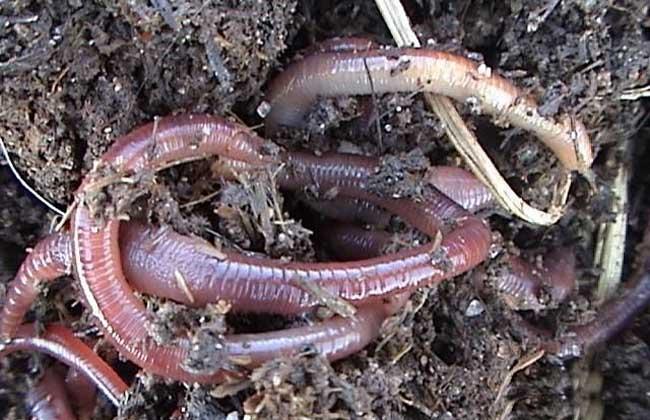 蚯蚓的养殖作用