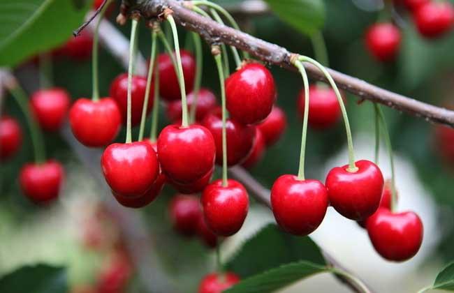 孕妇可以吃樱桃吗