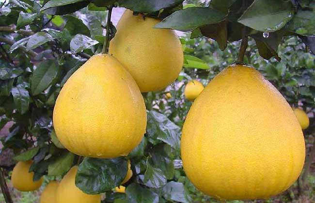 柚子品种图片
