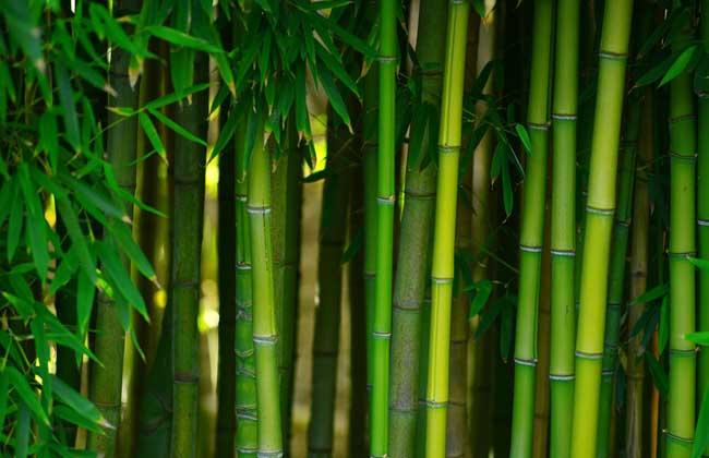 竹子会不会开花