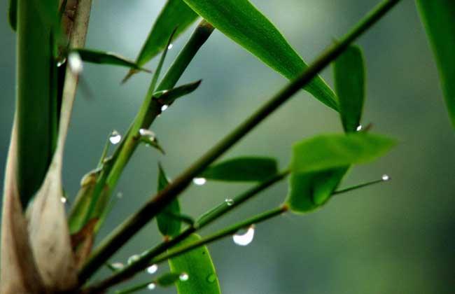 竹子是树还是草?
