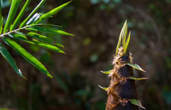 竹笋的功效与作用