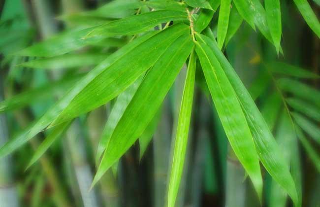 毛竹是什么植物?