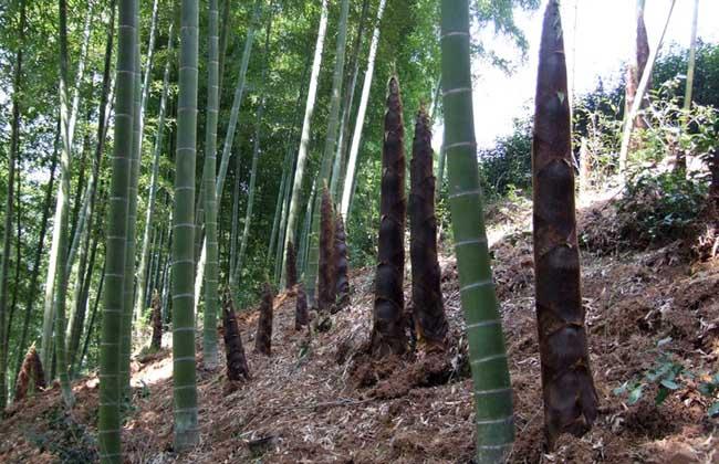 竹子的用途