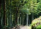 竹子的种类图片大全