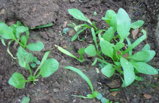 菠菜种子处理