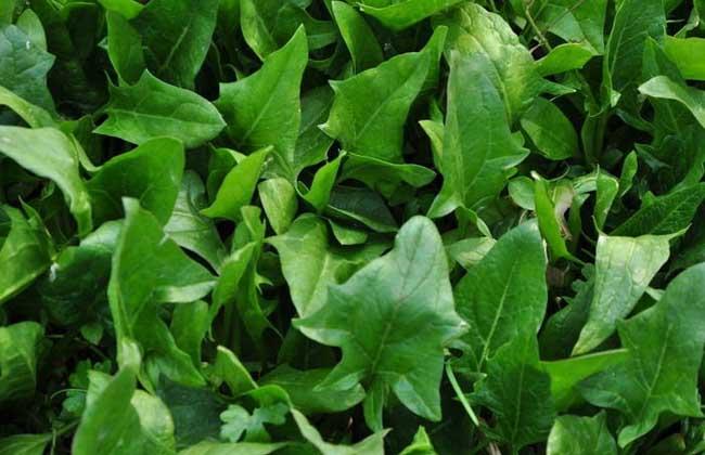大棚菠菜种植技术