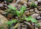 野菠菜是什么植物?