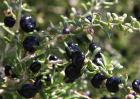 黑枸杞种植技术视频