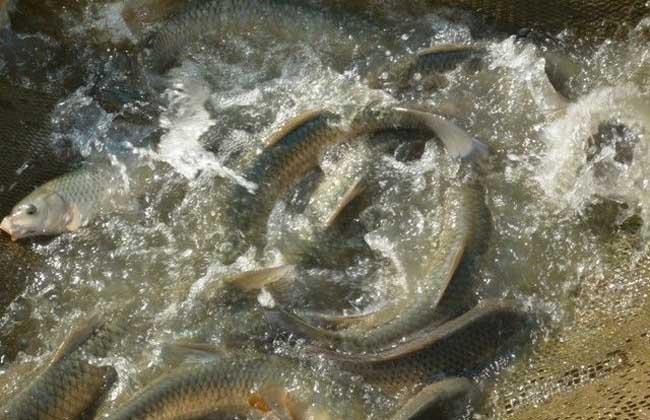 草鱼养殖技术