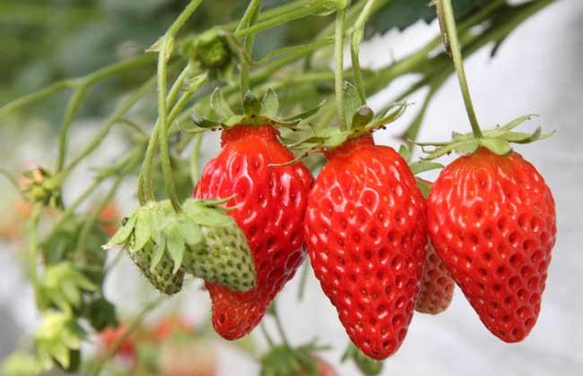 草莓什么时候成熟