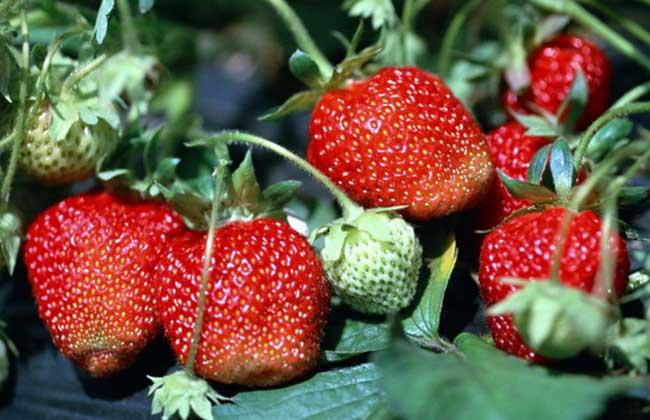 草莓怎么保存