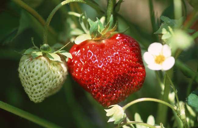草莓什么时候种植?