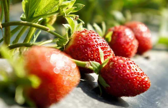 草莓什么时候种植