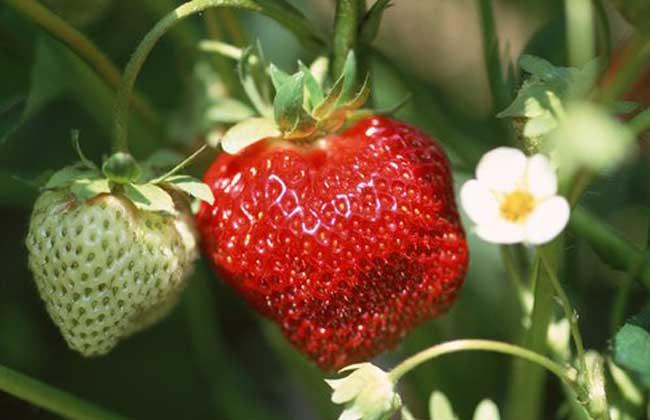 草莓种苗培育技术