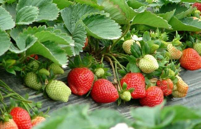 草莓无土栽培技术