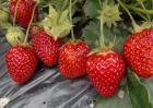 草莓怎么保存时间长?