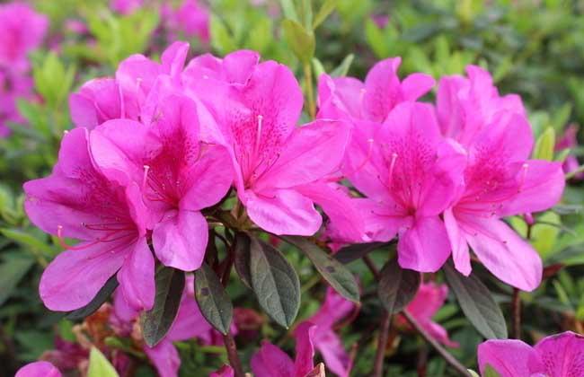 杜鹃花种类图片