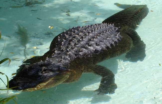 世界上最大的鳄鱼有多大