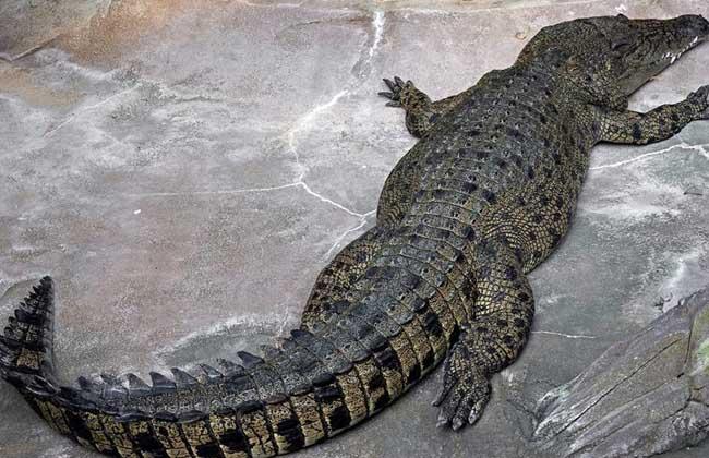蟒蛇能吃掉鳄鱼吗
