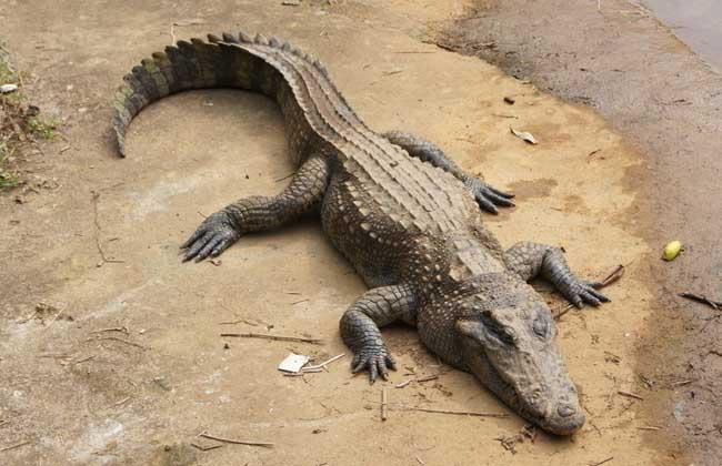 鳄鱼是保护动物吗