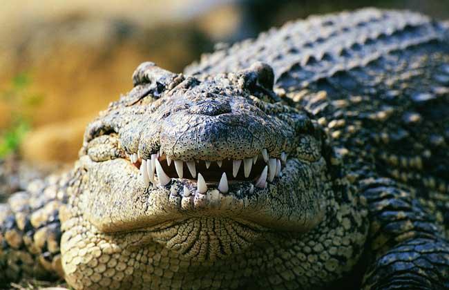 鳄鱼为什么不吃河马