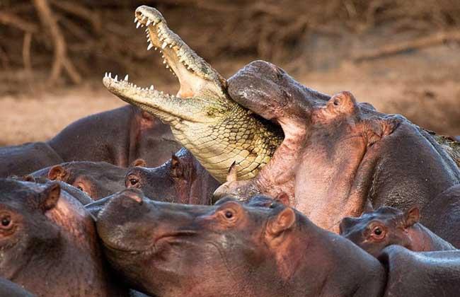 鳄鱼为什么不吃河马?