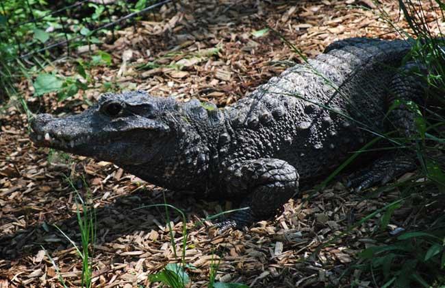 鳄鱼种类图片