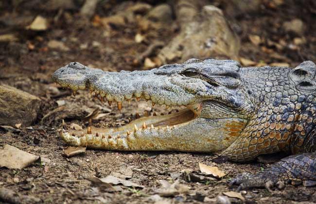 世界上最大的鳄鱼有多大?
