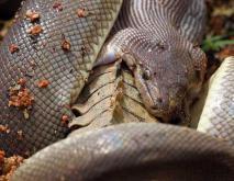 蟒蛇能吃掉鳄鱼吗?