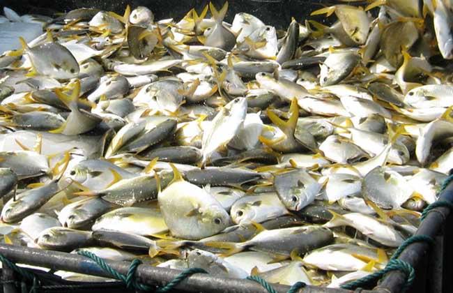 养殖金鲳鱼的条件+