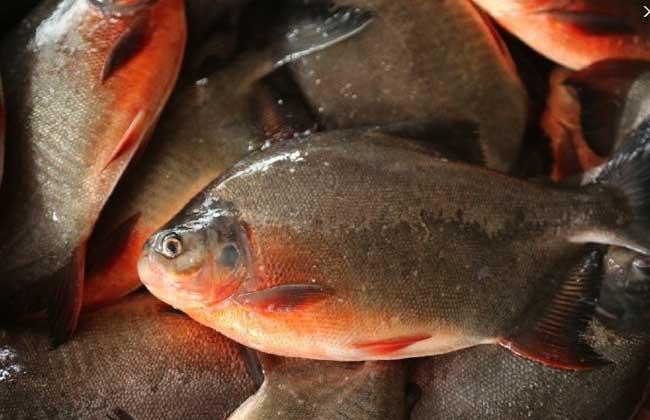 红鲳鱼养殖技术