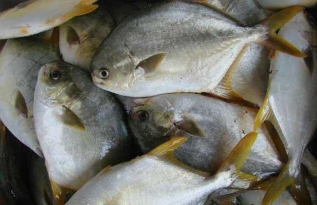 金鲳鱼网箱养殖技术