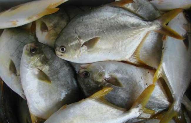 孕妇能吃鲳鱼吗