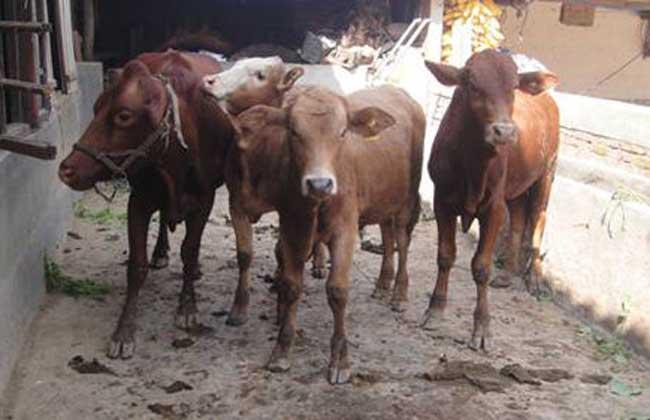 滇中牛养殖技术