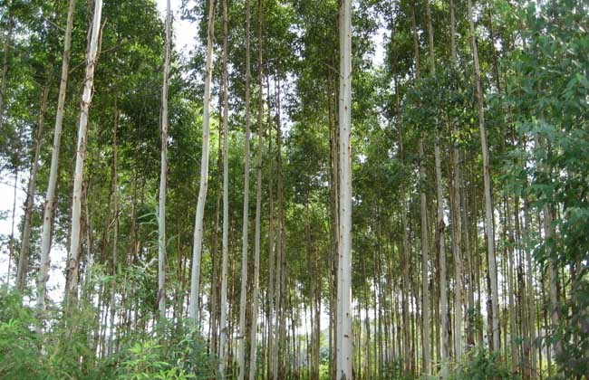 桉树的栽培品种