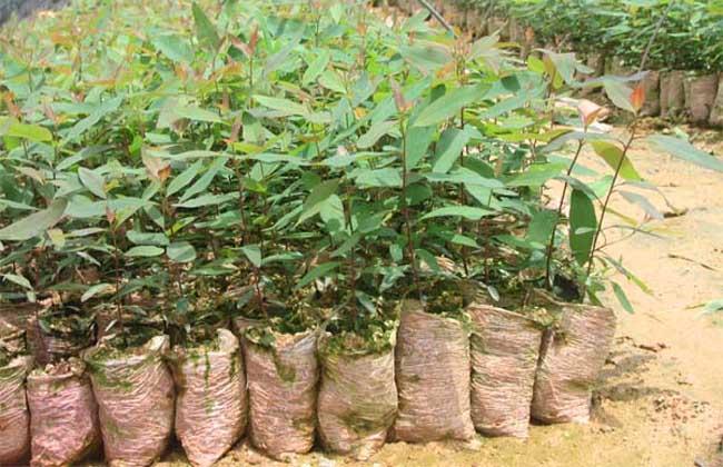 桉树扦插育苗技术