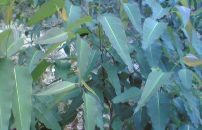 桉树叶的功效与作用