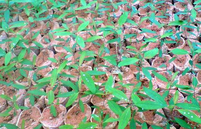 桉树用什么肥料