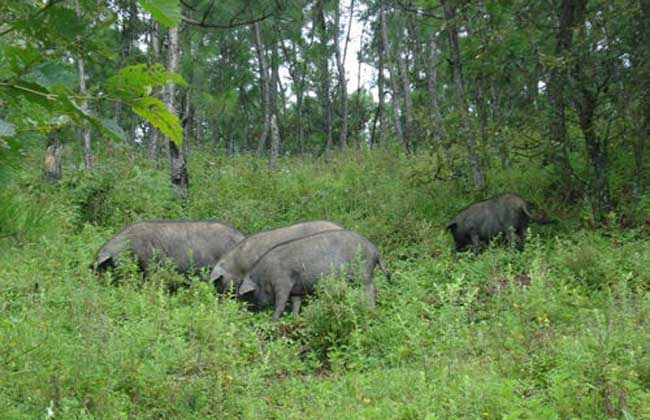 鲁莱黑猪养殖技术
