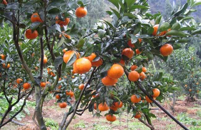茂谷柑种植技术