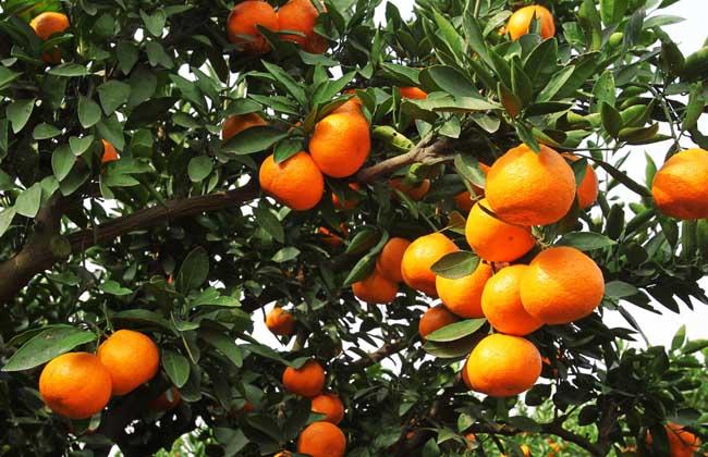 柑橘黄叶病