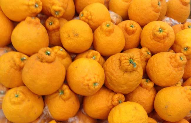 丑橘是转基因吗